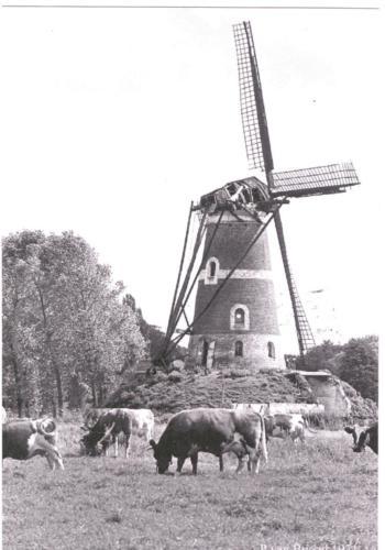 windmolen De Roosdonck_koeien_archief_86028
